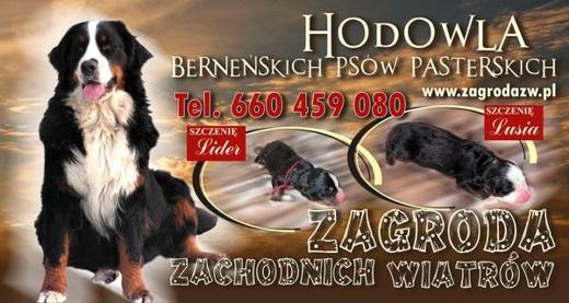 Berneński pies pasterski - Hodowla Zagroda Zachodnich Wiatrów