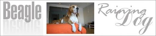Beagle - Hodowla Raining Dog