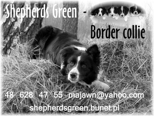 Hodowla Shepherds Green, FCI